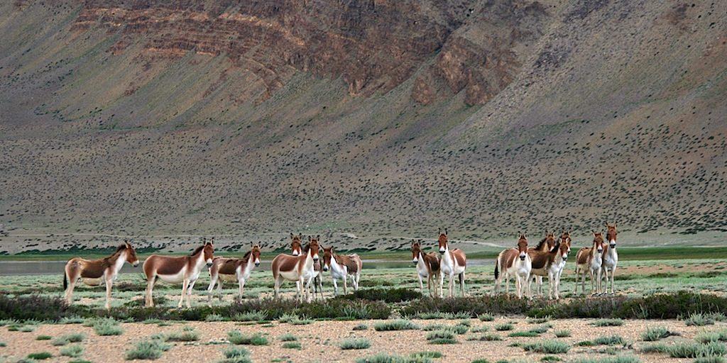 Un gruppo di kiang, asini selvatici, sulle sponde dello Tso Kar (foto P. Broggi),