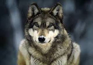 Al lupo! Si' ma quale?
