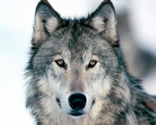 Niente lupi in Svizzera