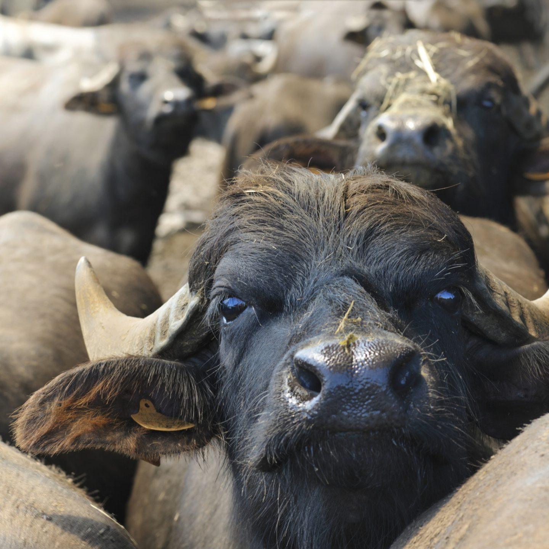 Bufale e dintorni